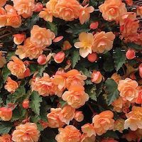 Begonia 'Fragrant Falls Improved™ - Apricot Delight' - Top 10 Unique Plants