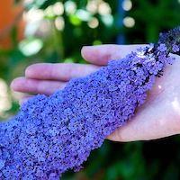Buddleja 'Buzz® Sky Blue' - Top 10 Unique Plants