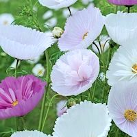 Cosmos bipinnatus 'Cupcakes and Saucers Mix' - Top 10 Unique Plants