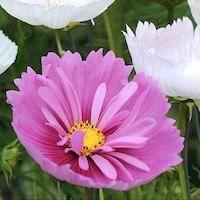 Cosmos bipinnatus 'Cupcakes' - Top 10 Unique Plants