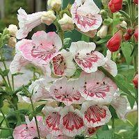 Penstemon 'Ice Cream Collection' - Top 10 Unique Plants