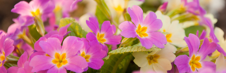 pink primrose with yellow centres - primroses are available to buy on Thompson & Morgan