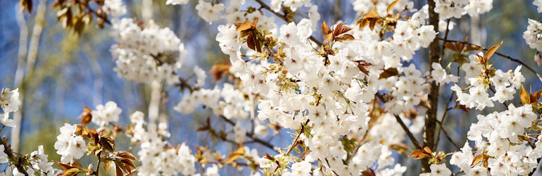 closeup of white cherry blossom on a tree