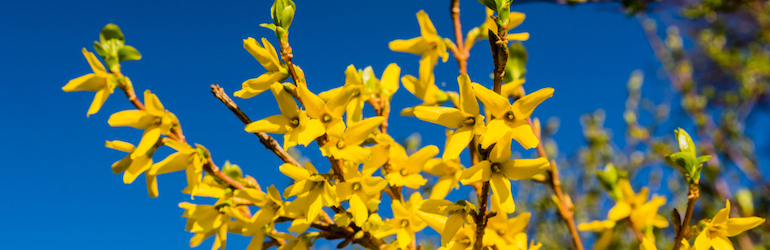 blooming yellow forsythia against the blue sky