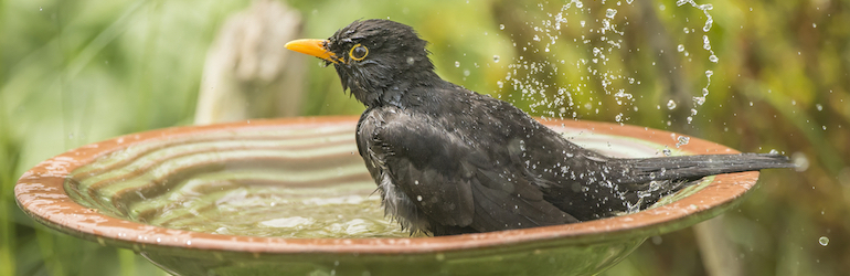blackbird washing in a bird bath in a garden