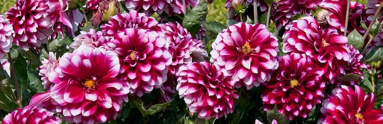 Dahlia 'Dalina Salinas' (The Windmill Dahlia) from Thompson & Morgan
