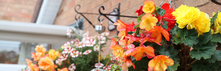 closeup of orange begonias in hanging baskets