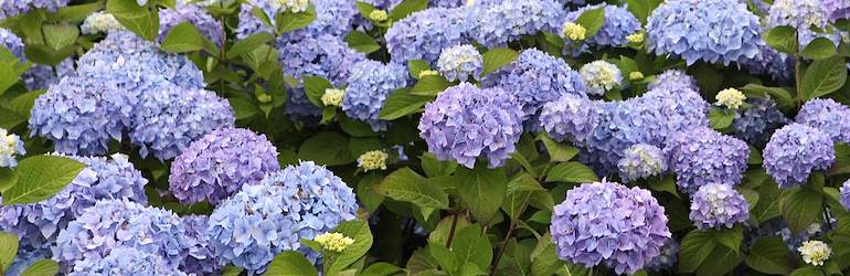 Hydrangea macrophylla 'Endless Summer - The Original' from Thompson & Morgan