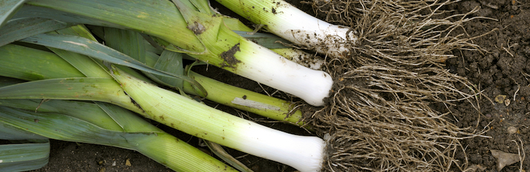 freshly lifted leeks from the ground