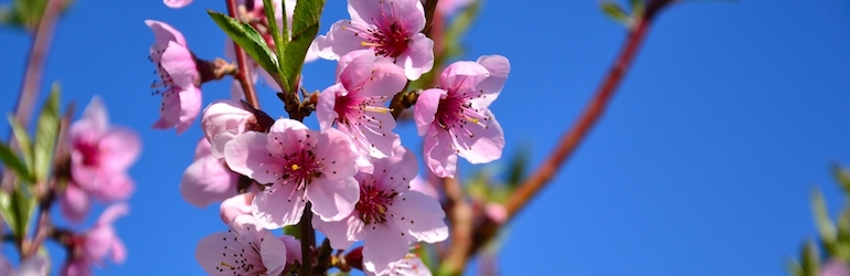 pink peach blossom flower against the blue sky