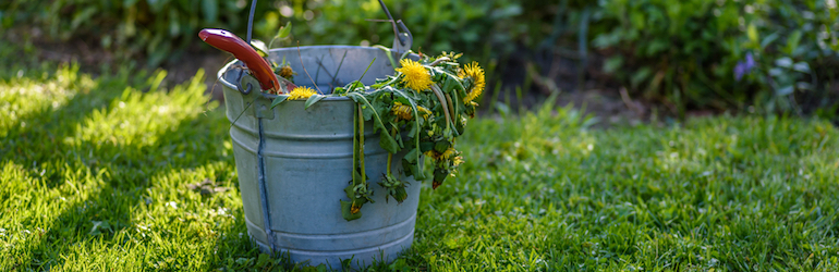 metal bucket full of dandelion weeds