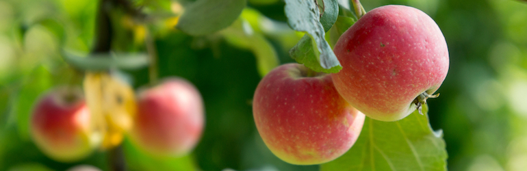 apple tree bearing fruit — apple trees and other fruits trees are available from Thompson & Morgan