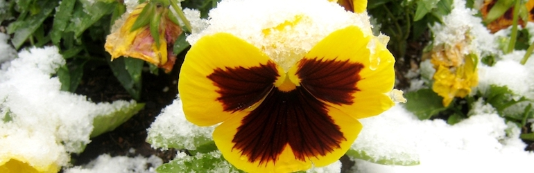 yellow pansy under snow — different pansy varieties are available from Thompson & Morgan