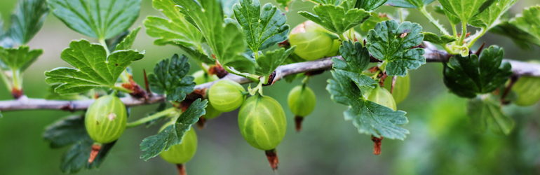 green gooseberry plants on a branch - gooseberries and other berry varieties are available from Thompson & Morgan
