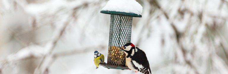 blue tit and great spotted woodpecker on a snow covered birdfeeder