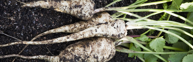 freshly dug parsnips lying on the ground - parsnips and other root veg are available from Thompson & Morgan