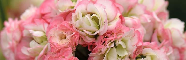 Geranium 'Appleblossom Rosebud' from Thompson & Morgan