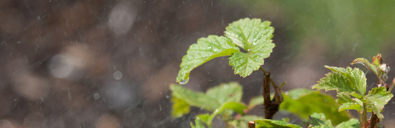 closeup of a raspberry plant with water on the leaves