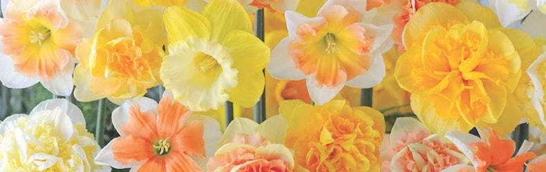 Narcissus 'Citrus Sorbet' from Thompson & Morgan