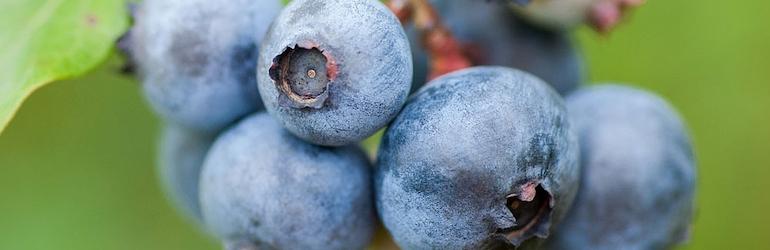 Blueberry 'Duke' from Thompson & Morgan