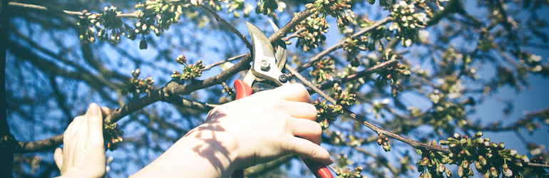 woman pruning a cherry fruit tree