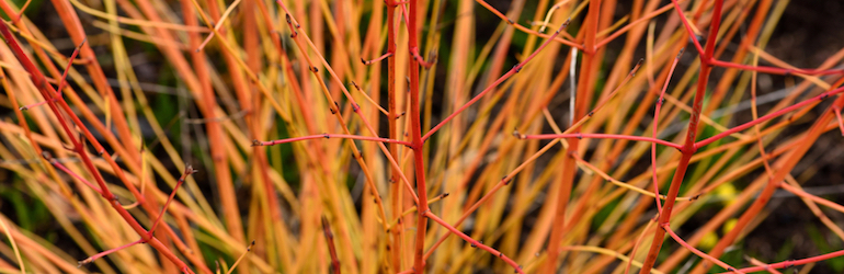 red cornus 'midwinter' fire