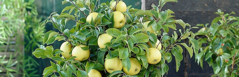 Apple 'Golden Delicious (Mini Fruit Tree) from Thompson & Morgan