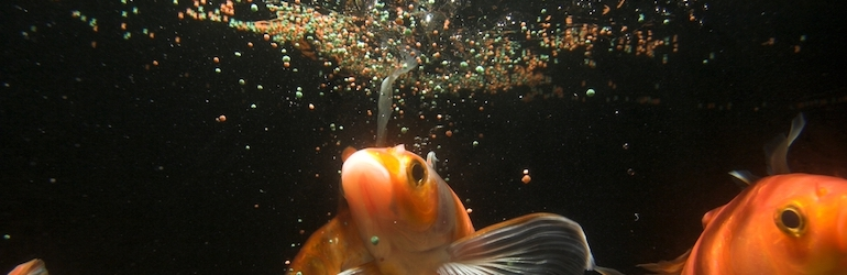 Japanese koi fish underwater with fish food