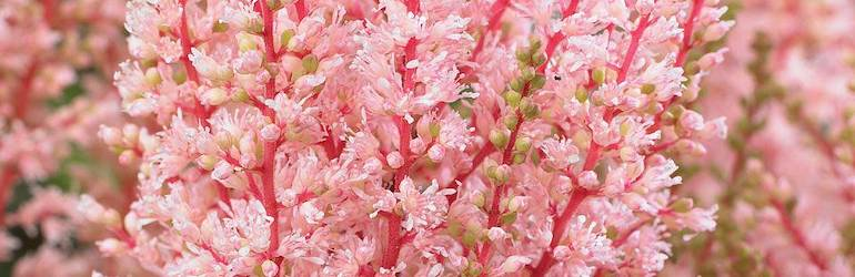 Pink perennial - False Goatsbeard or Astilbe x arendsii 'Look at Me' from Thompson & Morgan