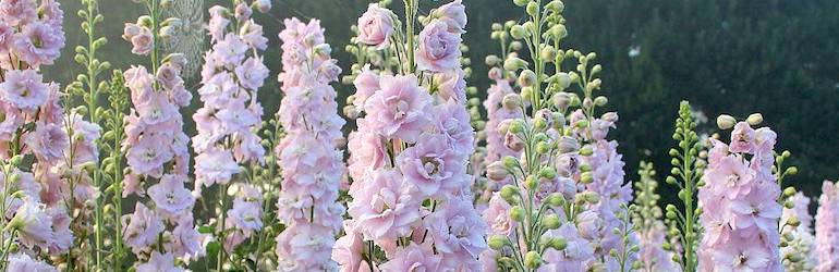 Delphinium 'Pink Blushes' from Thompson & Morgan