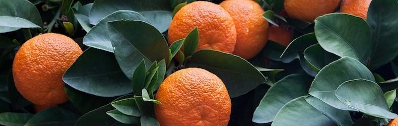 Orange 'Bigaradier' from Thompson & Morgan