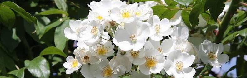 Rose filipes 'Kiftsgate' (Rambling Rose) from Thompson & Morgan