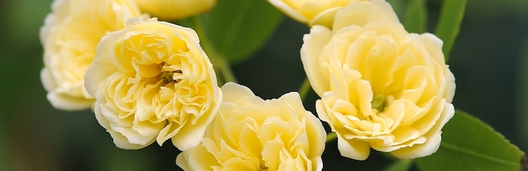 Rose banksiae 'Lutea' (Climbing Rose) from Thompson & Morgan