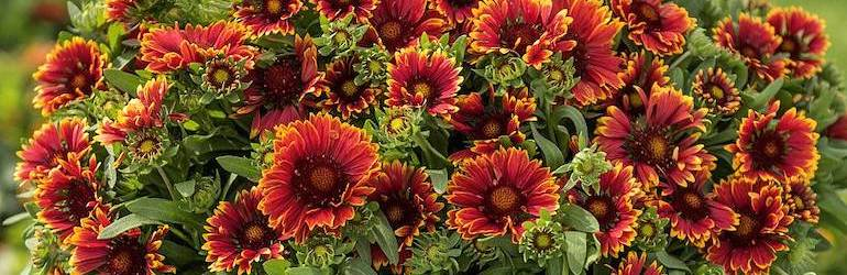 Gaillardia 'Spintops' from Thompson & Morgan