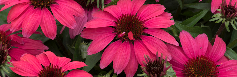 Echinacea SunMagic 'Vintage Red' from Thompson & Morgan