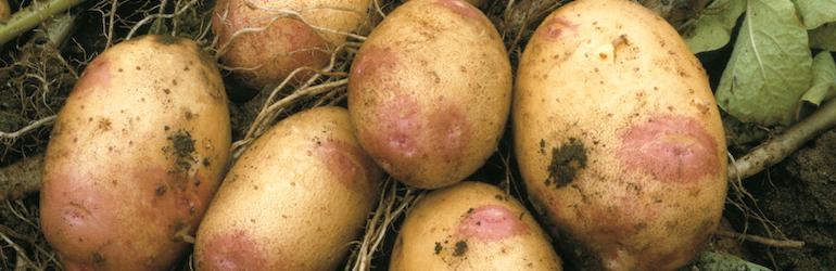 Potato 'King Edward' from T&M