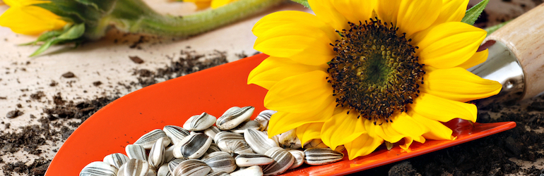sunflower seeds and sunflower sitting on a spade - sunflowers available to buy from Thompson & Morgan