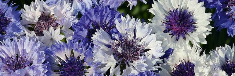 What-to-plant-in-August-sow-cornflowers - Cornflower 'Classic Fantastic' by Thompson & Morgan