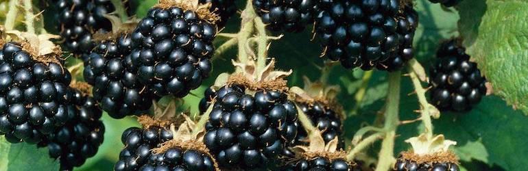 Ripe fruit berries of Blackberry 'Loch Ness' from Thompson & Morgan