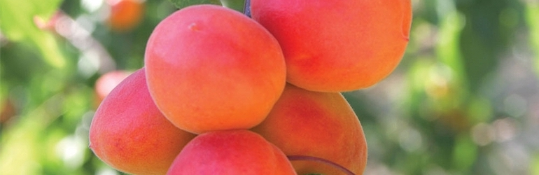 closeup of apricots on a tree - Apricot 'Flavourcot' by Thompson & Morgan - available now