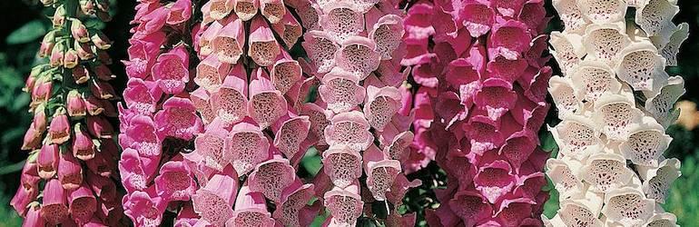 foxglove perennials — Foxglove 'Excelsior Hybrid Mixed' by Thompson & Morgan