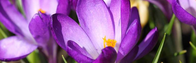 flower purple crocus - Crocus 'Ruby Giant' by Thompson & Morgan - available now