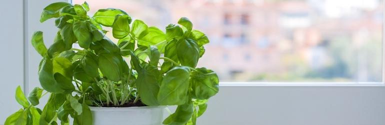 pot of basil growing on a windowframe