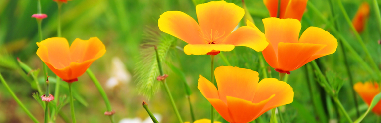 What-to-plant-July-flowers-sow-grow-california-poppy — orange Californian poppies in a green field