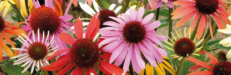 What-vegetables-to-plant-July-flowers-sow-grow-hero — Echinacea x hybrida 'Magic Box' from Thompson & Morgan