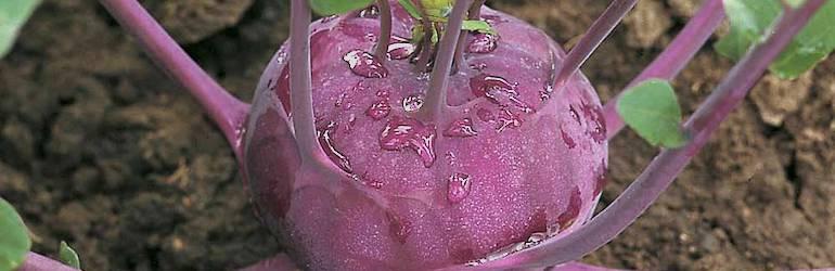 What-vegetables-to-plant-July-kohl-rabi - Kohl Rabi 'Kolibri' F1 Hybrid from Thompson & Morgan
