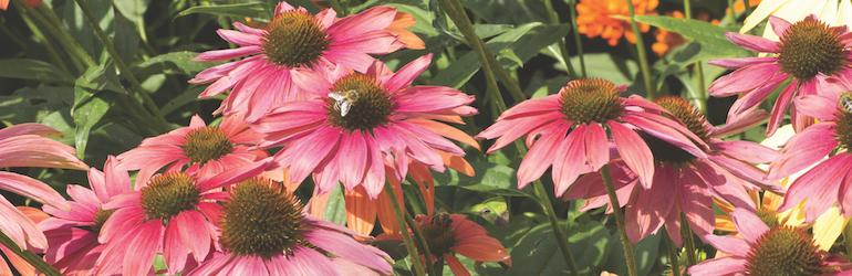 Echinacea purpurea 'Primadonna Mixed' from Thompson & Morgan