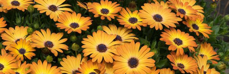 Osteospermum 'Serenity Sunshine Beauty from Thompson & Morgan