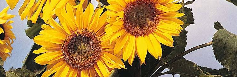 Sunflower 'Russian Giant' from Thompson & Morgan