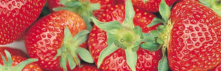 Strawberry 'Florence' (Late Season) from Thompson & Morgan